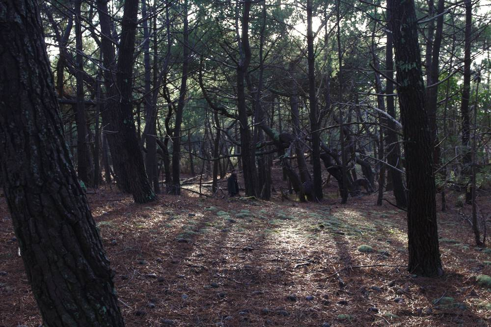 Forêt de pins au Porge en Gironde