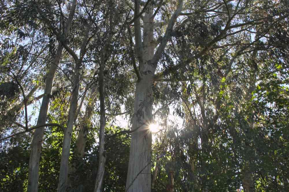 Eucalyptus dans le Parc floral de Bordeaux