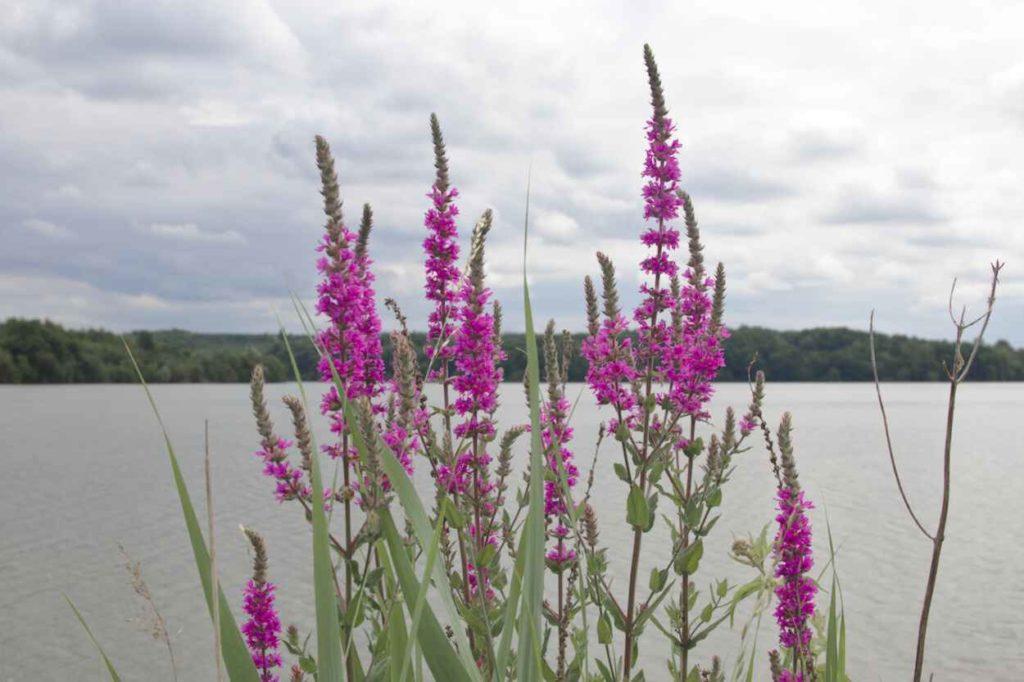 Fleurs-lac-de-la-prade