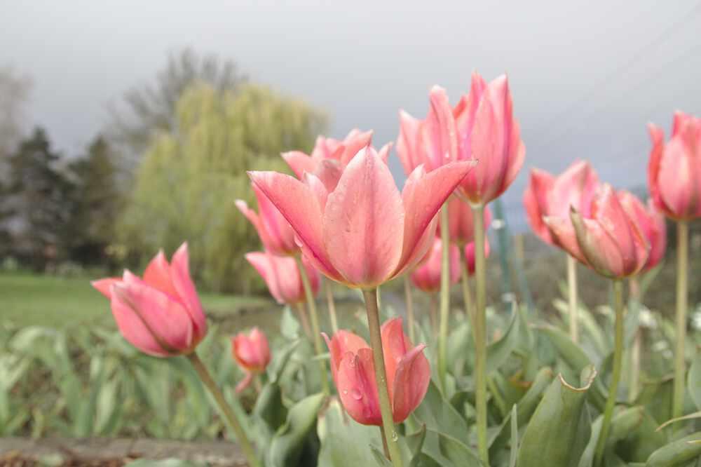 Parc Floral de Bordeaux: des tulipes à l'entrée