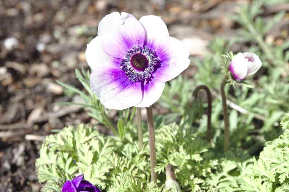 Autre fleur violette au Parc floral de Bordeaux