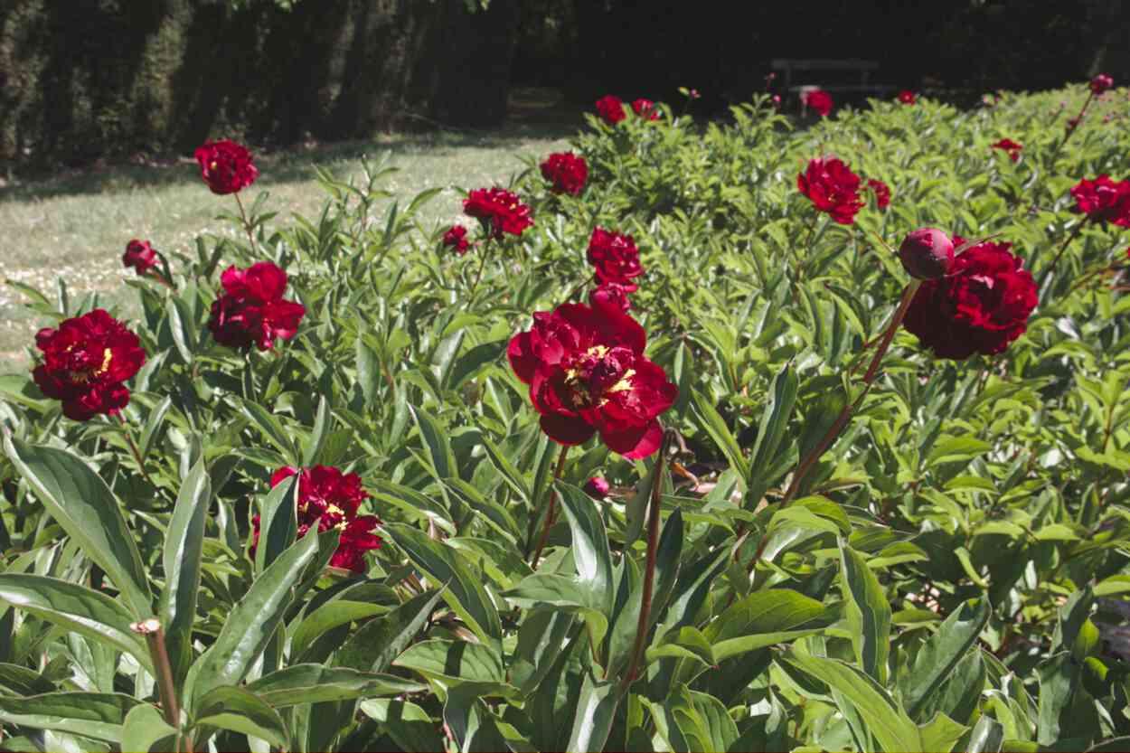 Pivoines en fleurs dans le Parc floral de Bordeaux
