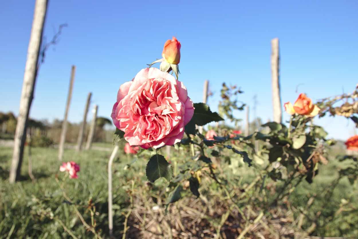 Rose Parc floral de Bordeaux
