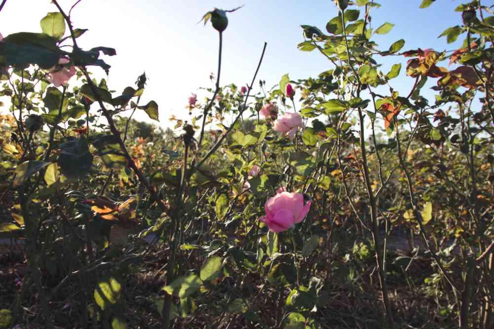 Roseraie du Parc floral de Bordeaux