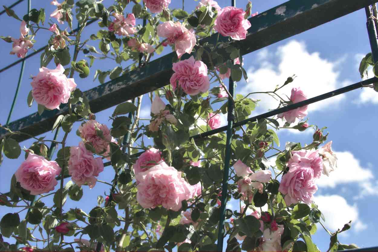 Roses du Parc Floral de Bordeaux