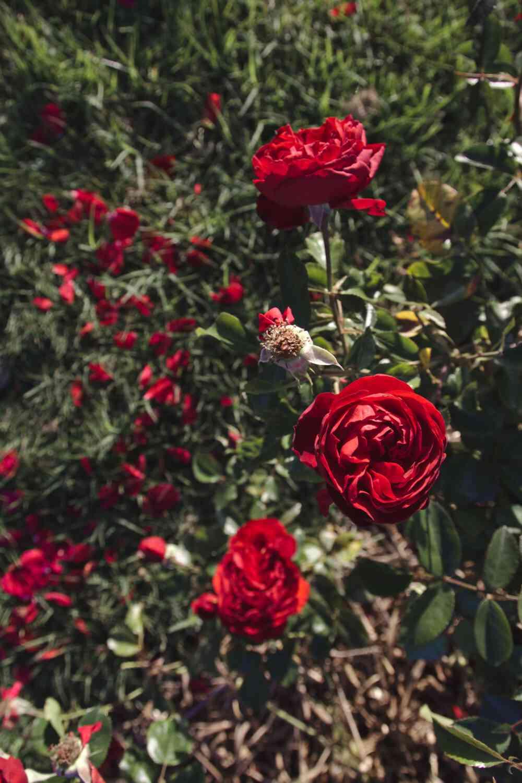 Roses rouges Parc floral de Bordeaux