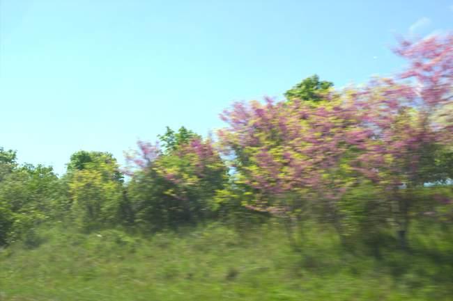 Arbustes en fleurs vu de la route