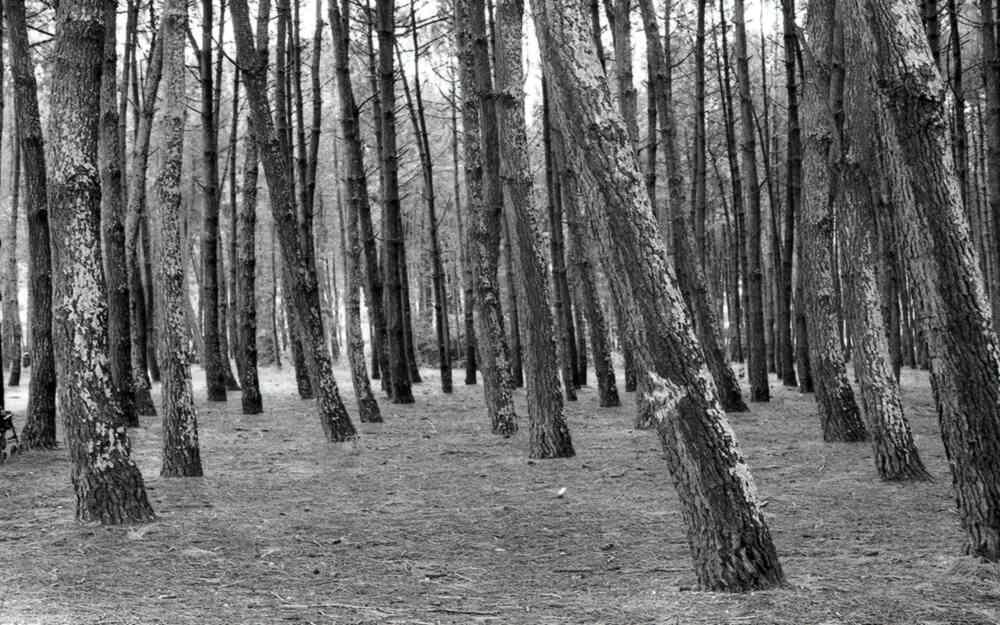 Armée des pins en noir et blanc