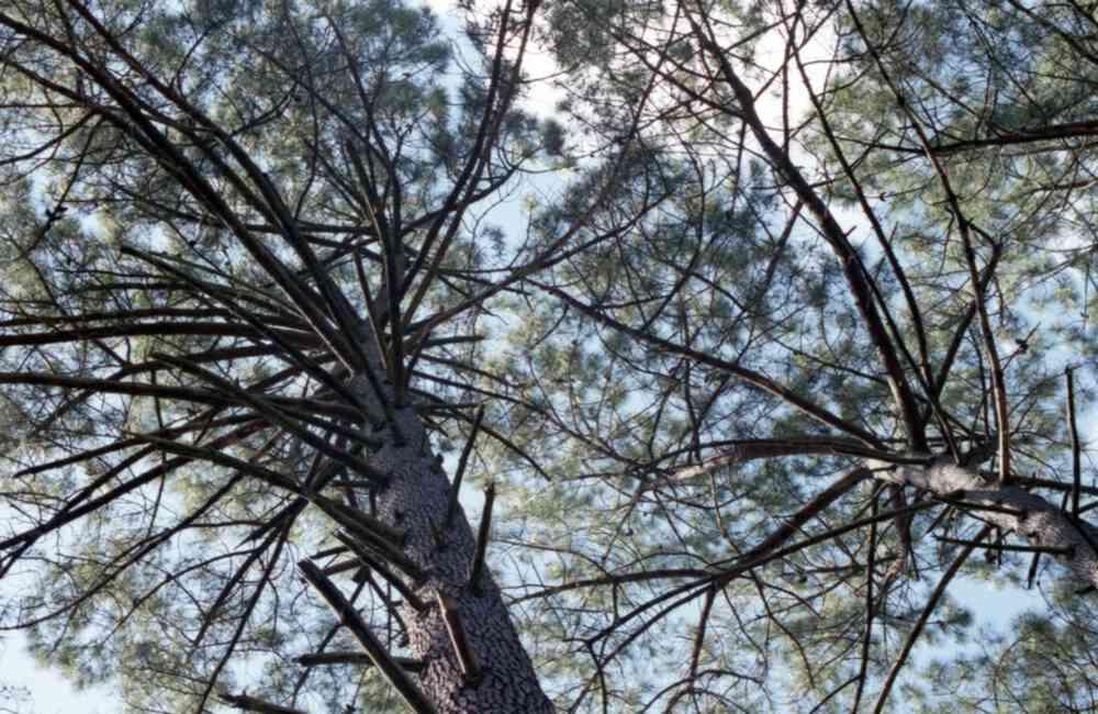 Branches de pins des landes