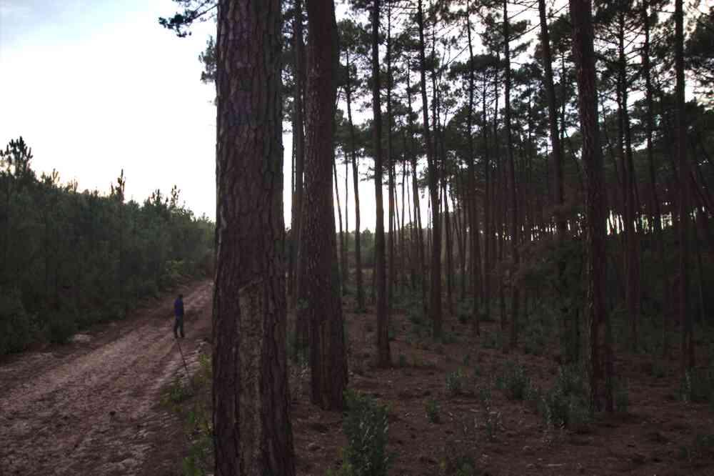 Forêt de pins de l'étang de Cousseau