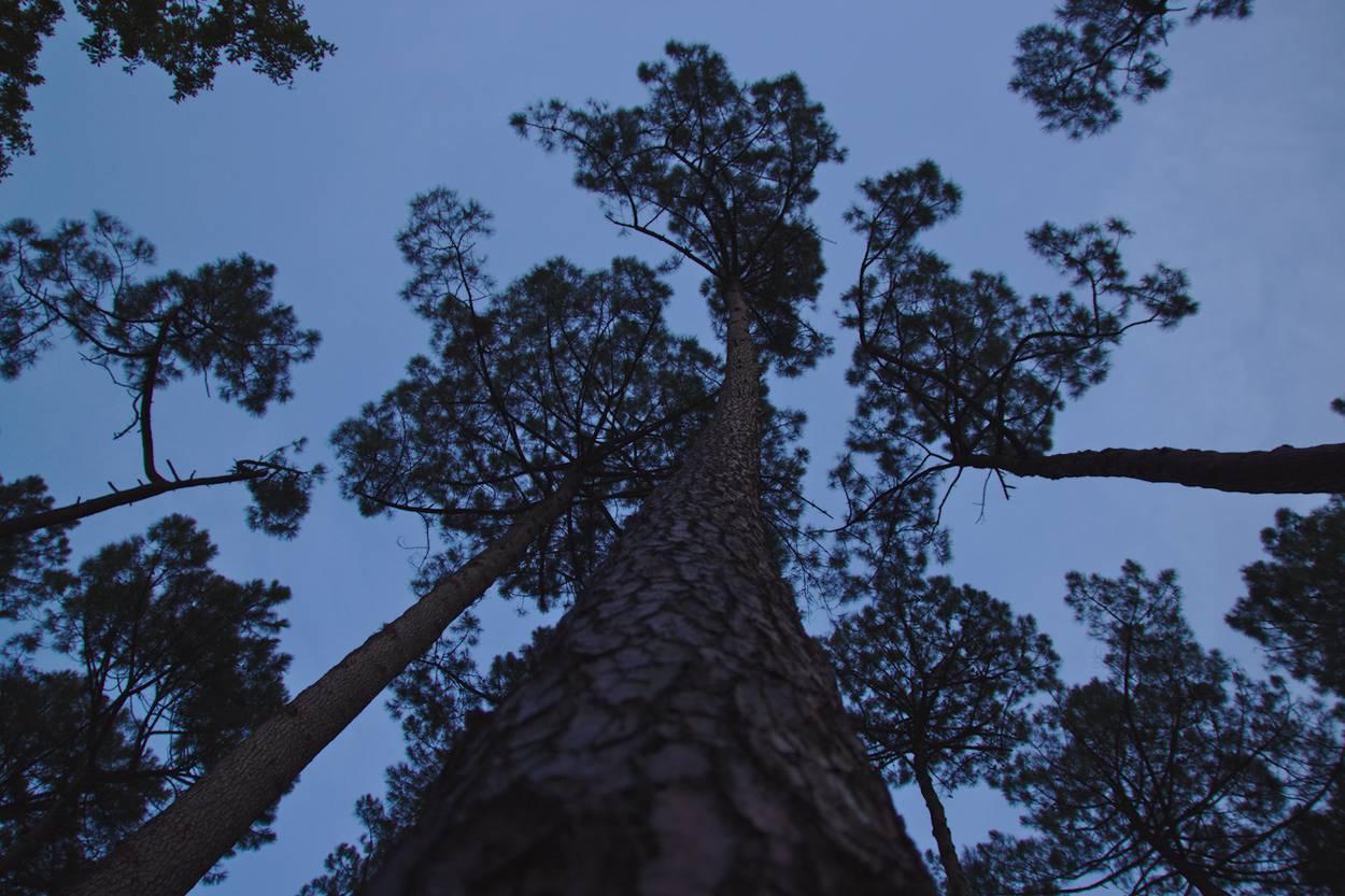 Tronc de pin des landes