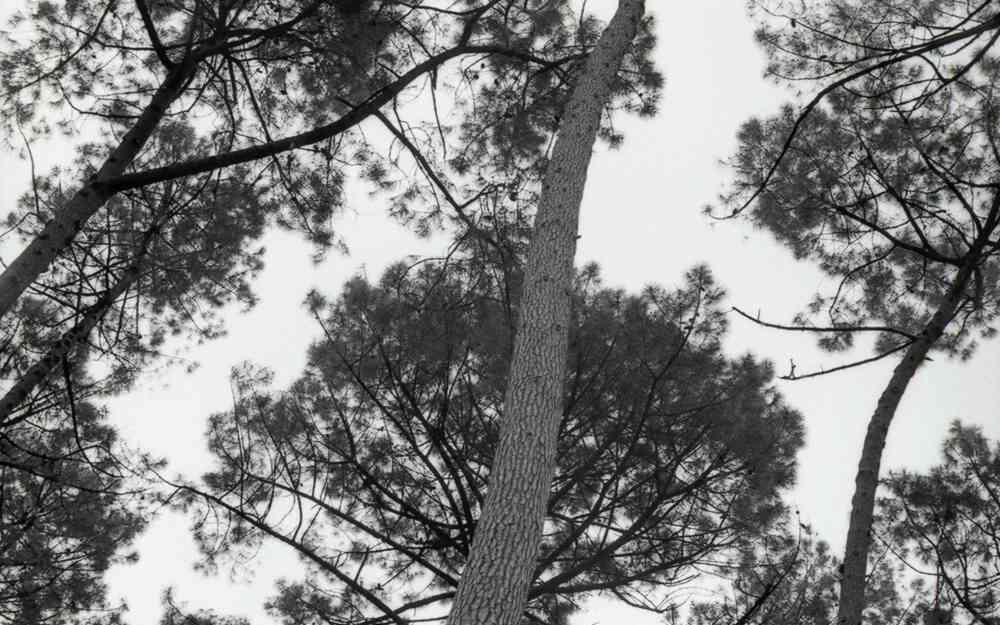 Tronc de pin en noir et blanc