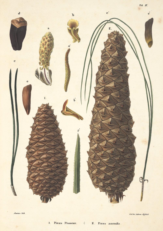 pinus-pinaster-pinus-australis