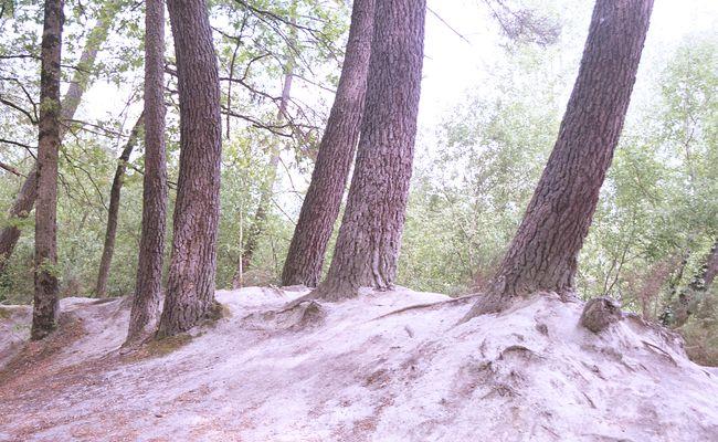 Pins dans le sable au Bourgailh