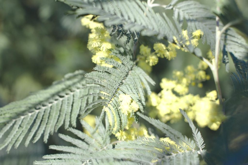 Mimosa Aa Bordeaux
