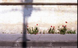 Coquelicots-le-long-des-murs