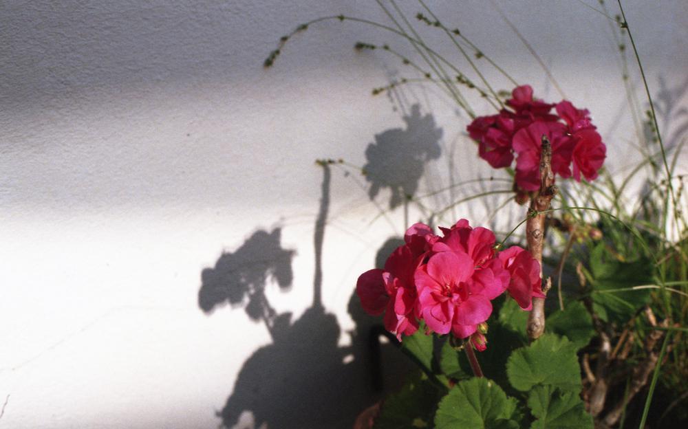 Géranium sous le soleil du soir